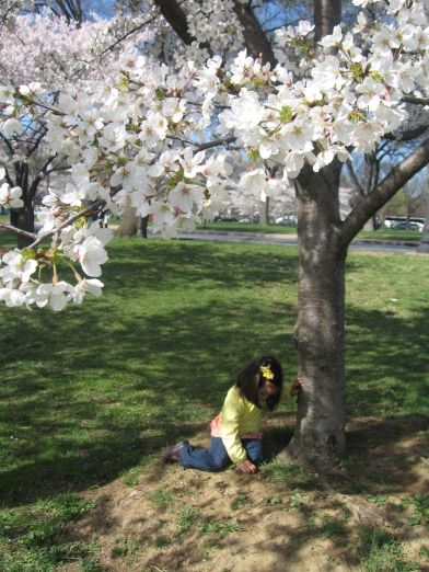 Cherry Blossoms | Ann Ning Learning How